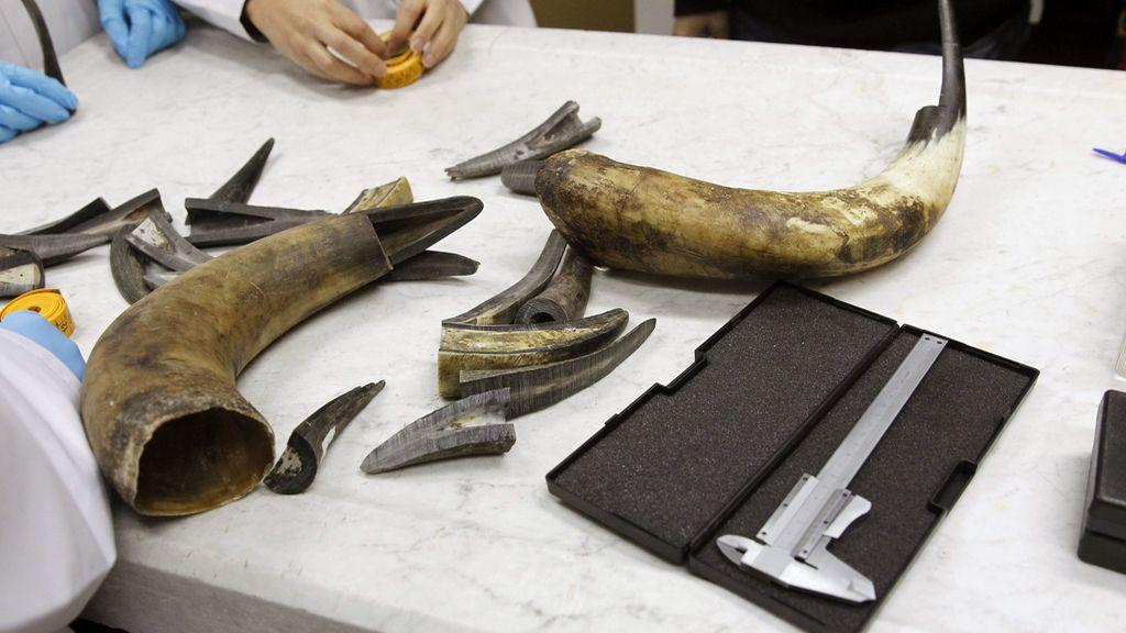 La Policía Nacional recibe formación para detectar el afeitado de las astas de los toros