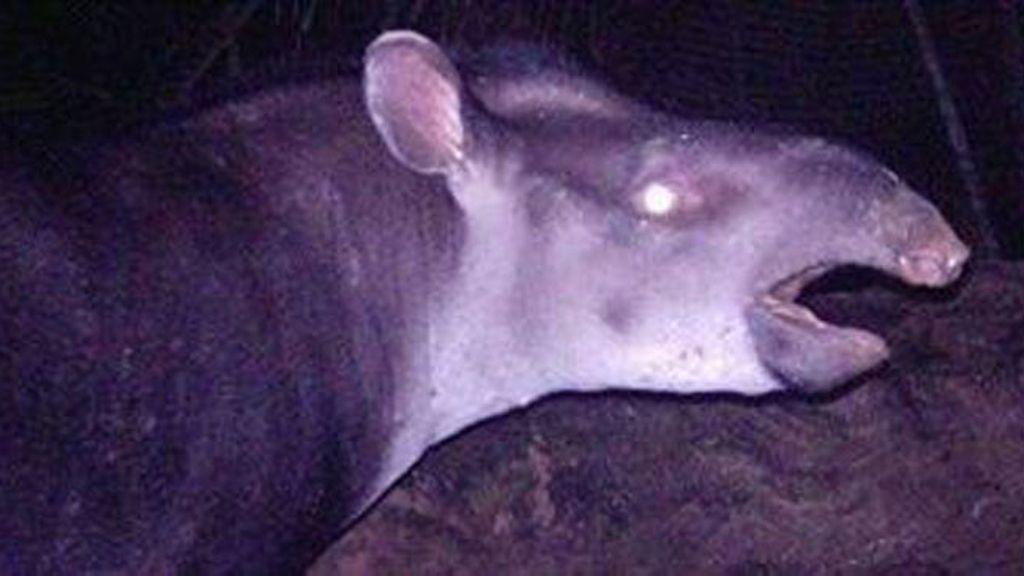 Descubren un nuevo mamífero terrestre en la selva amazónica