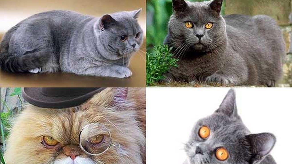 Gato británico: El felino de los faraones