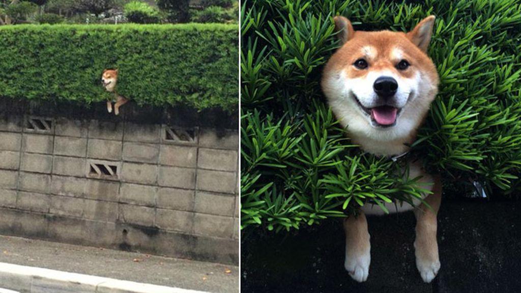 Un perro se hace viral después de quedar  atrapado en un seto a más de tres metros de altura
