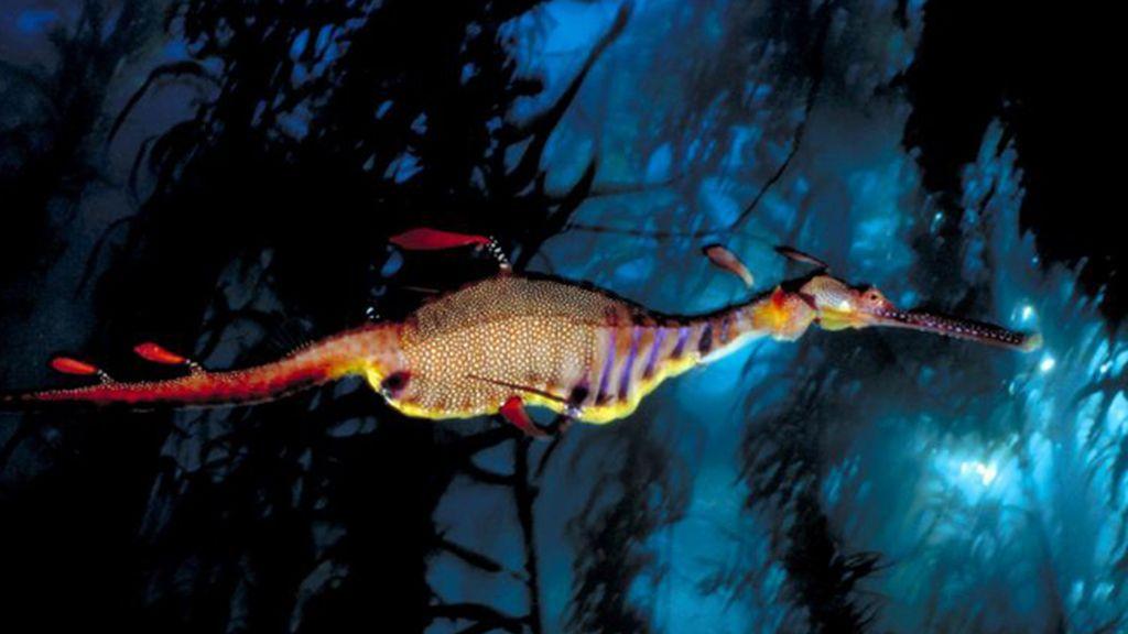 Un dragón de mar, Phyllopteryx taeniolatus, en la bahía de Waterfall, Tasmania, Australia