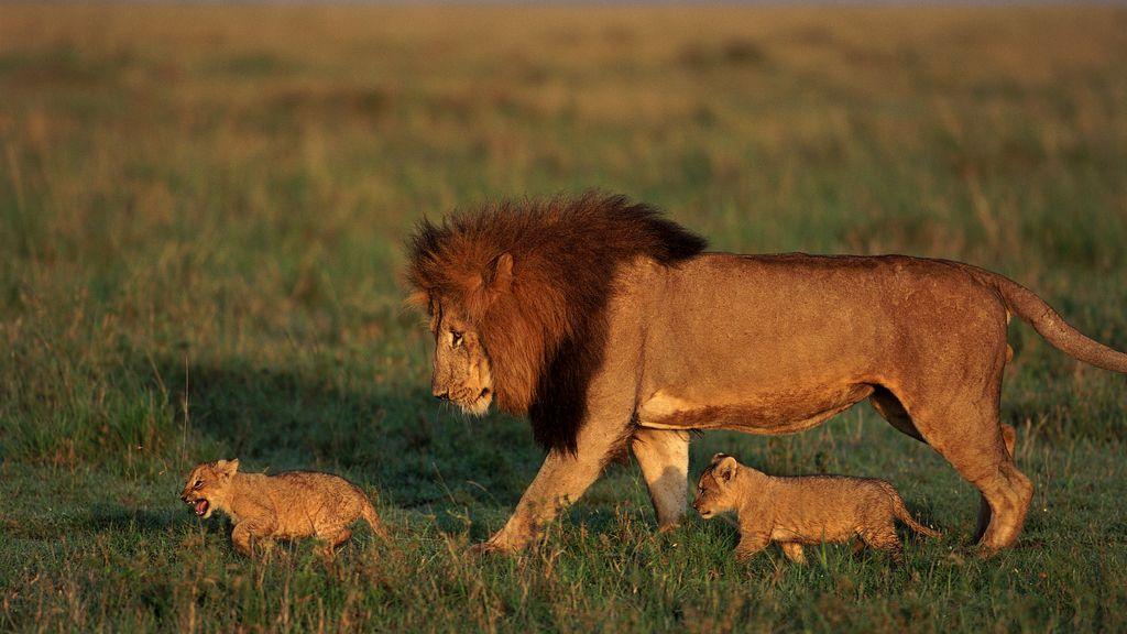 La luna llena protege de los ataques de los leones. Foto:Gtres