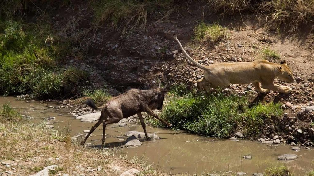 Una leona huye de una cría de ñu que no quería ser cazada en Kenia