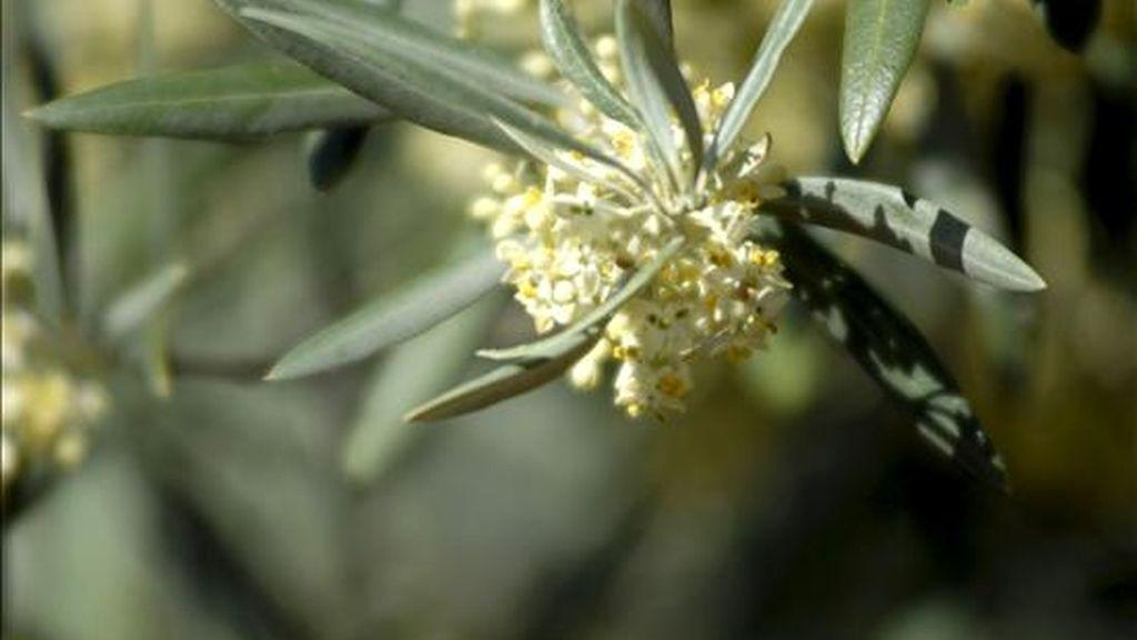 Flor de olivo causante de un gran de alergias. EFE/Archivo