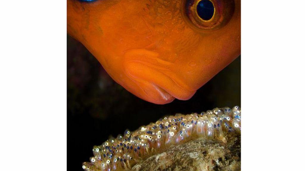 Pez payaso macho en la Gran Barrera de Coral, Australia