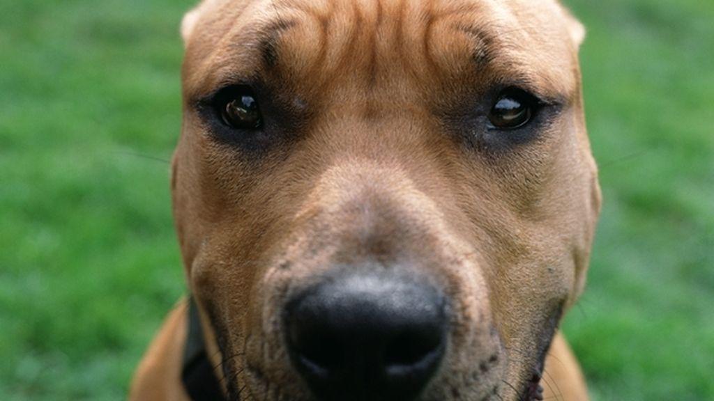 Perro de raza pitbull