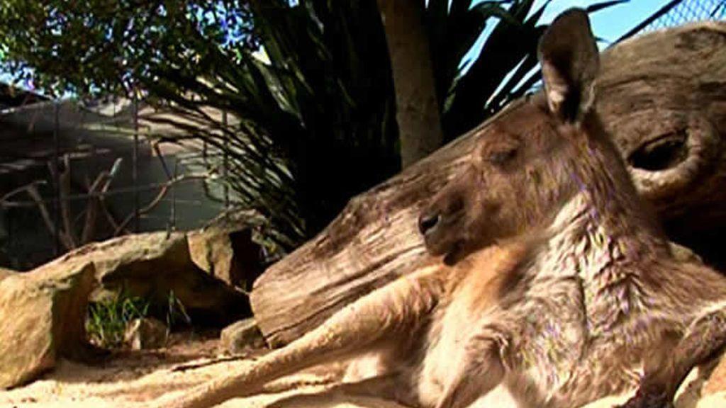 Otro símbolo de Sidney: el canguro