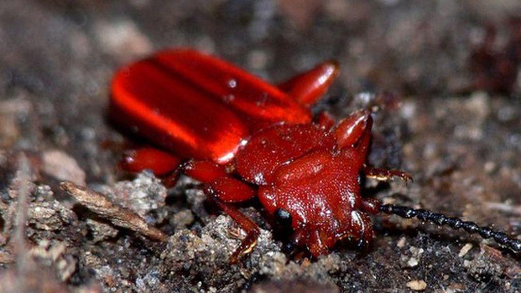 El escarabajo rojo descortezador