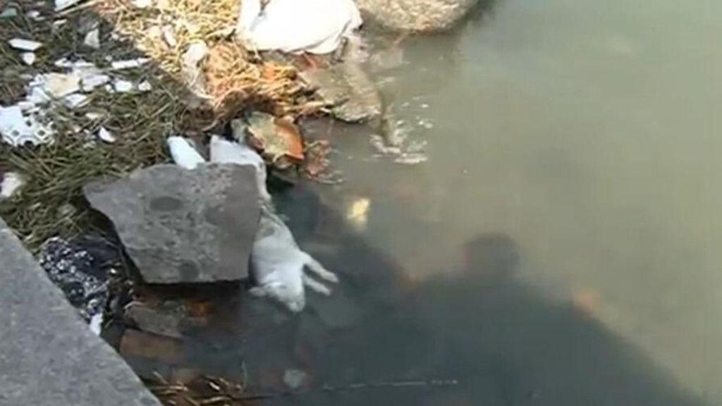 Cerdos muertos en un río chino
