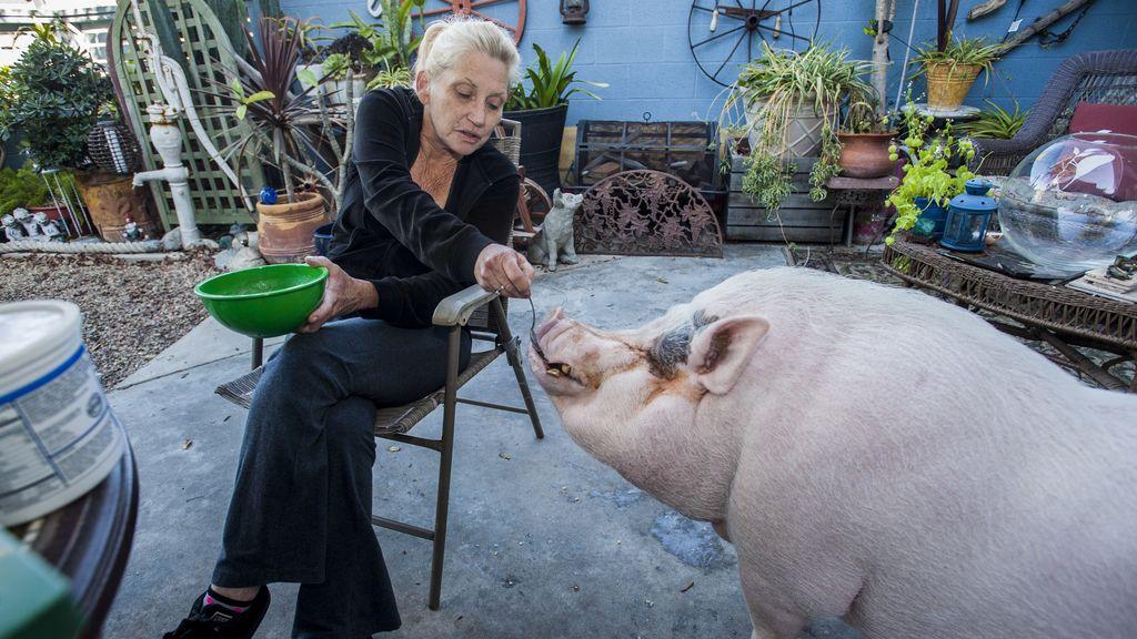 El cerdo que divide a una ciudad en dos podrá quedarse con su dueña