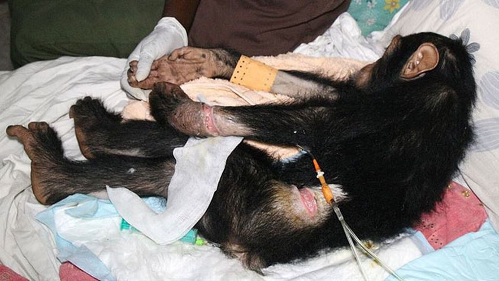 Liberan un chimpancé que fue rescatado de manos de los traficantes ilegales