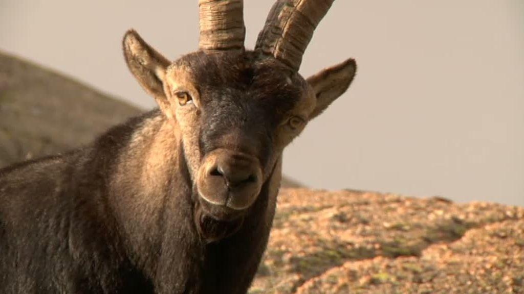 La cabra montesa y el buitre leonado despiden 'La selva en casa'