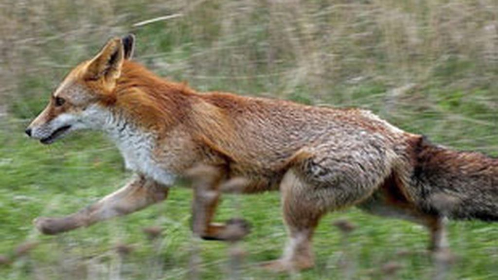 La caza de zorros es popular en Bielorrusia.