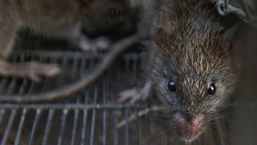 Ratas atrapadas en Bombay