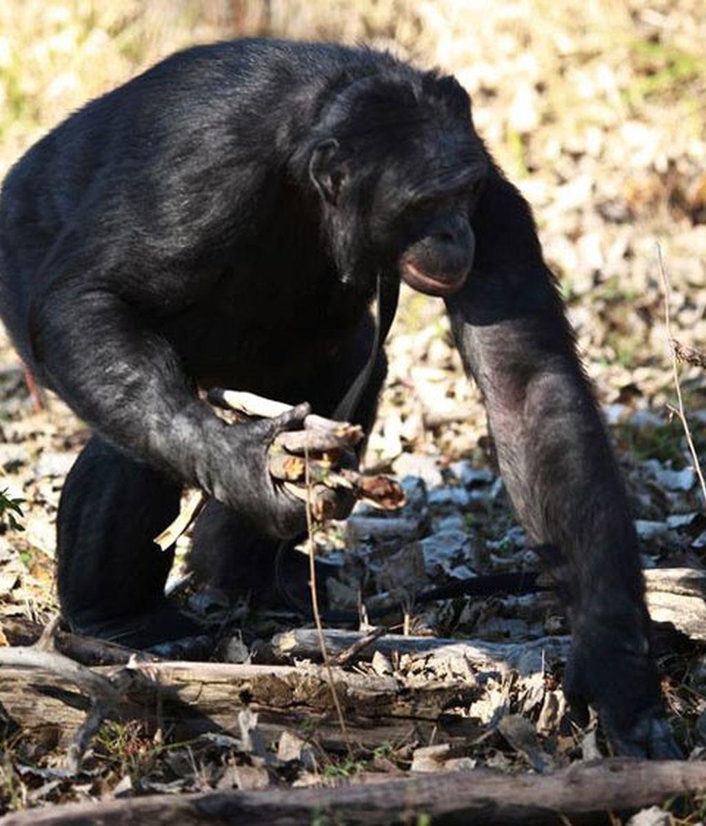 mono, chimpancé