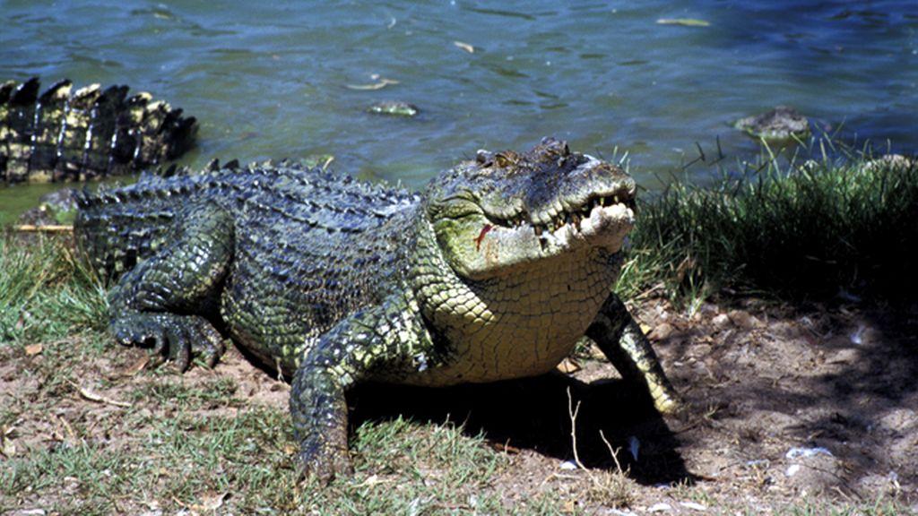 Un cocodrilo devora a un niño en presencia de sus padres