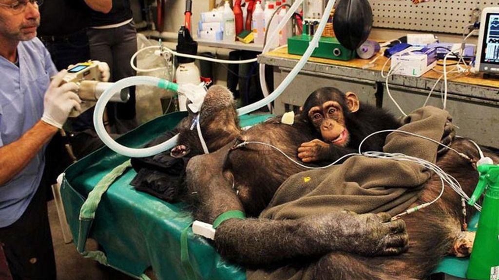 chimpancé,zoológico Aalborg,Dinamarca,operación a chimpancé,