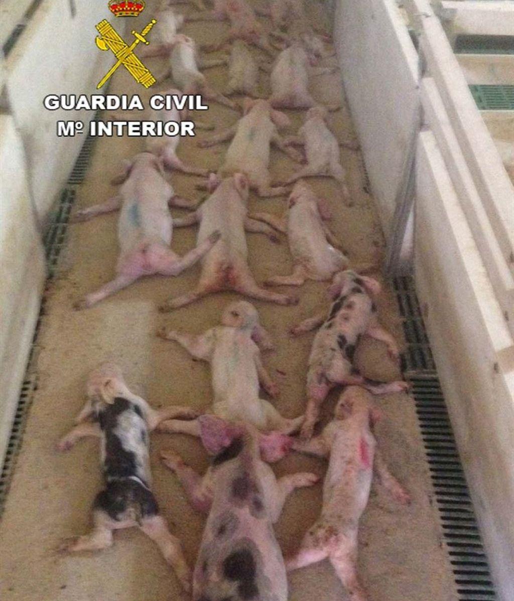Dos investigados en Almería por sacrificar 72 lechones y difundirlo en Whatsapp