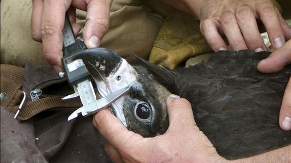 El estudio sobre el comportamiento del buitre negro, que desde 2006 ha puesto en marcha el Parque Nacional de Cabañeros, aporta importantes datos sobre las costumbres de estas aves, en peligro de extinción, ha dicho a Efe su director, Manuel Carrasco. EFE