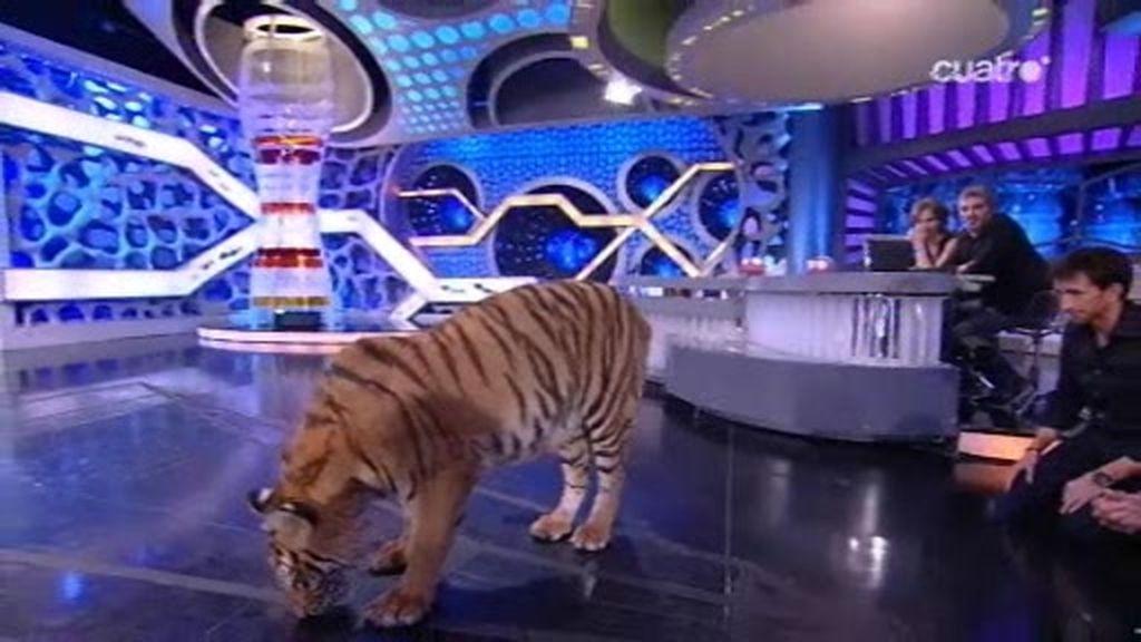 Un tigre de casi 300 kilos en 3D
