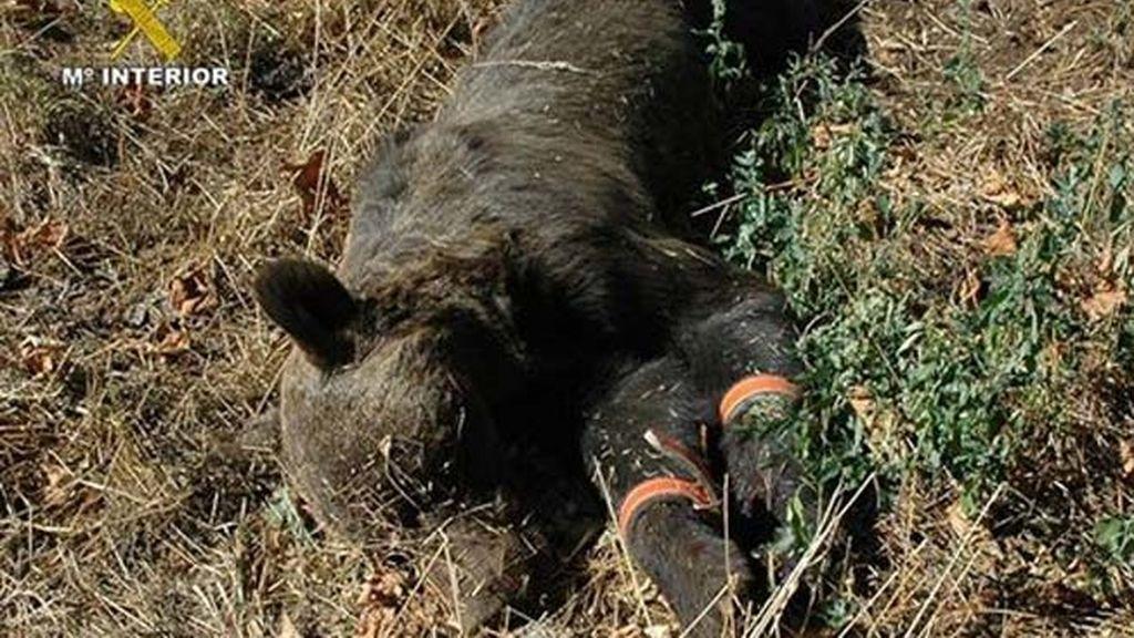 Oso pardo asesinado en Asturias