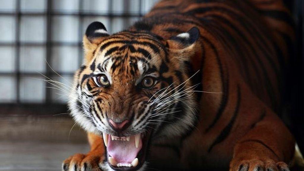 Una cuidadora del Zoo de Hamilton ha sido asesinada por un tigre de Sumatra