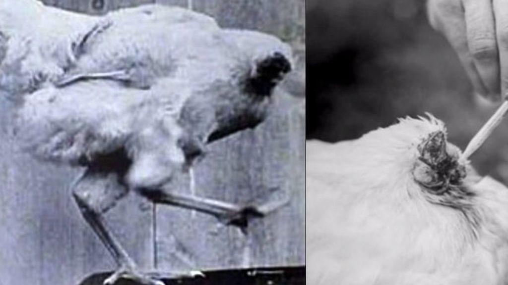 La historia del pollo que vivió un año sin cabeza