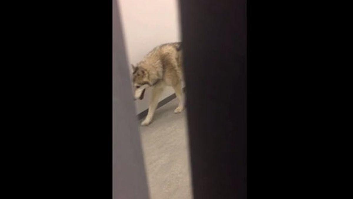 Un lobo en el hall del hotel en Sochi