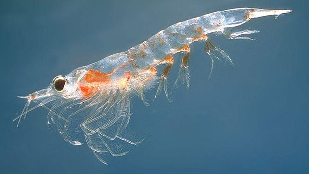 El aceite de krill, un remedio extraordinario contra las enfermedades cardiovasculares