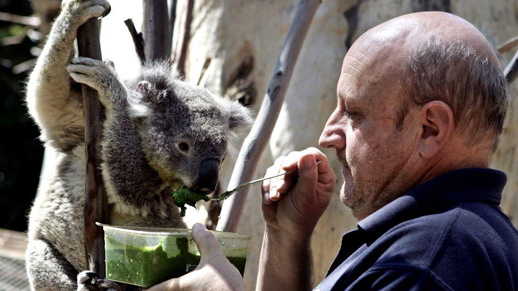 Cada día comen doce tipod distintos de eucalipto