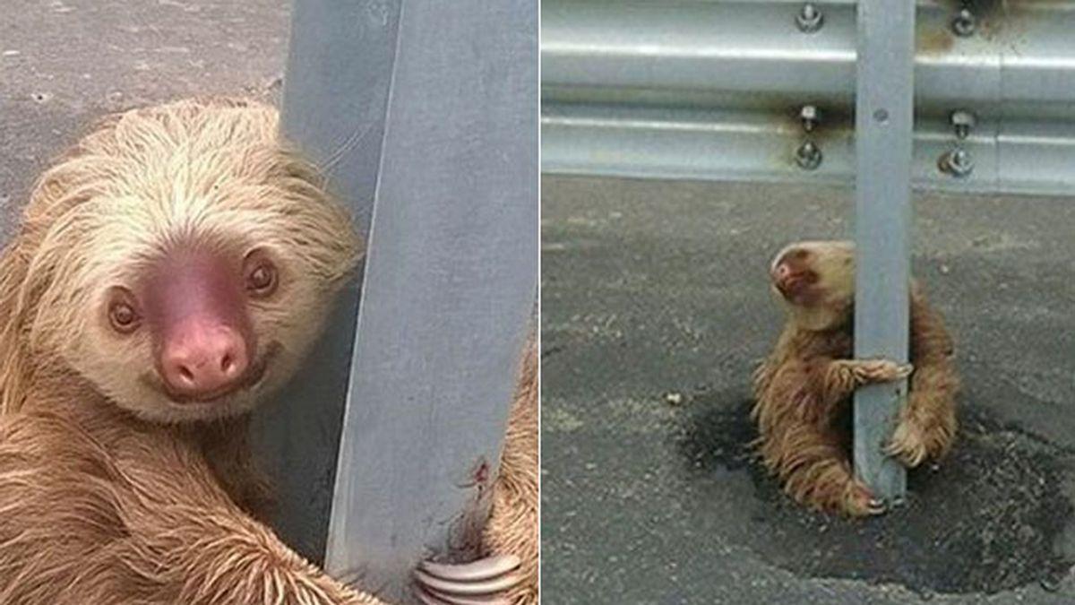 Rescatan a un oso perezoso de una carretera