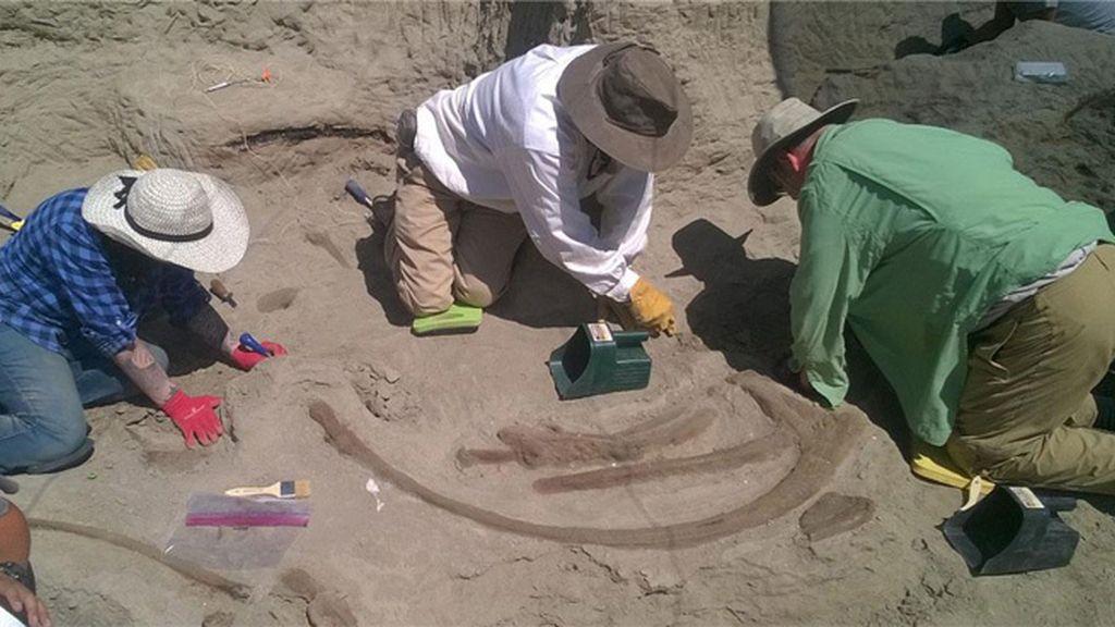 Hallan en EEUU un enorme cráneo de un Tiranosaurio rex