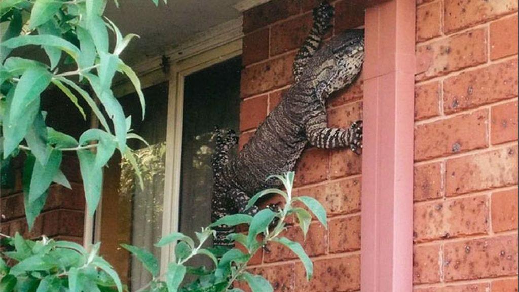 Un lagarto gigante en mi balcón