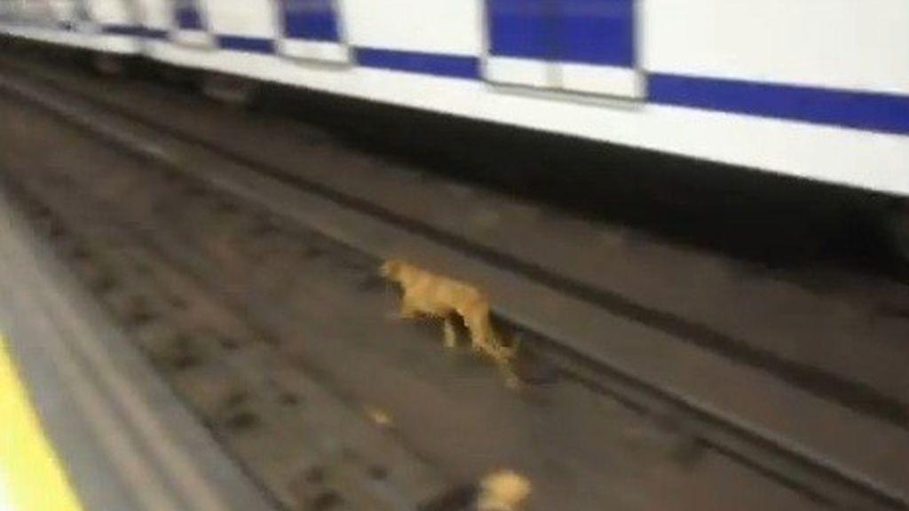 Varias protectoras de animales denuncian que Metro de Madrid no les dejó entrar para rescatar a una perra perdida