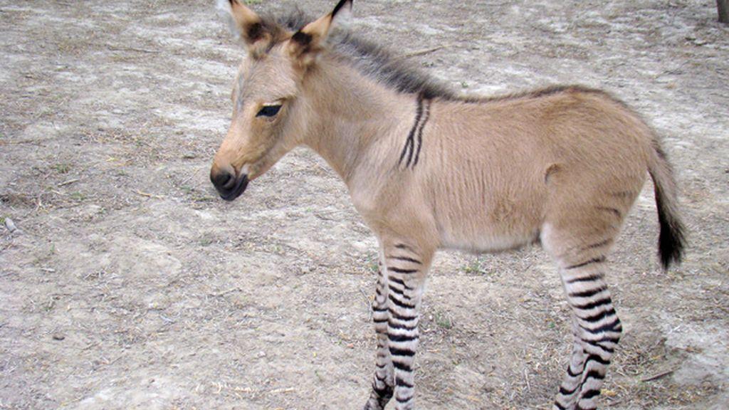 Nace el primer cebrasno en México