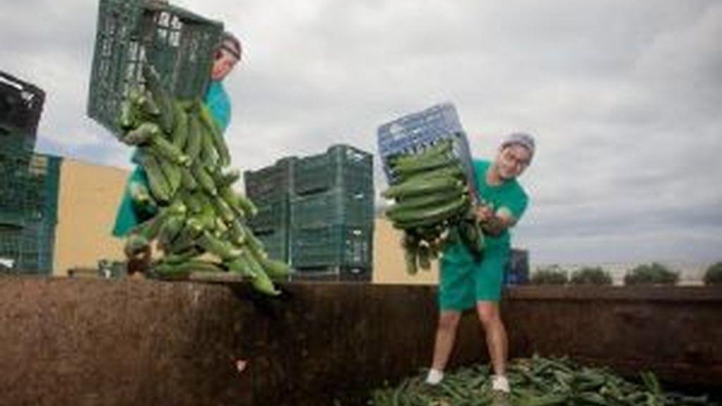 La crisis de los pepinos. Foto: EFE.