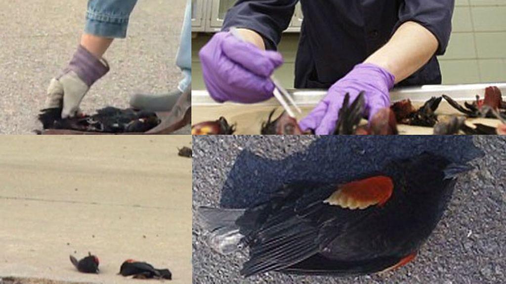 Pájaros muertos en Arkansas