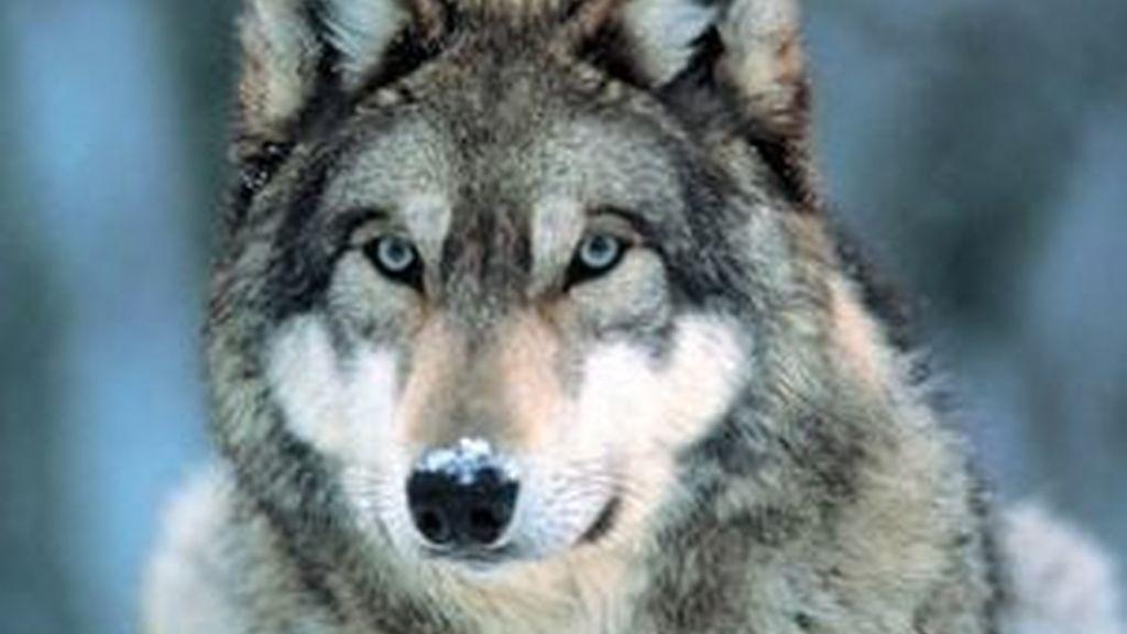 Los híbridos se asemejan a los lobos, incluso aúllan como animales salvajes.