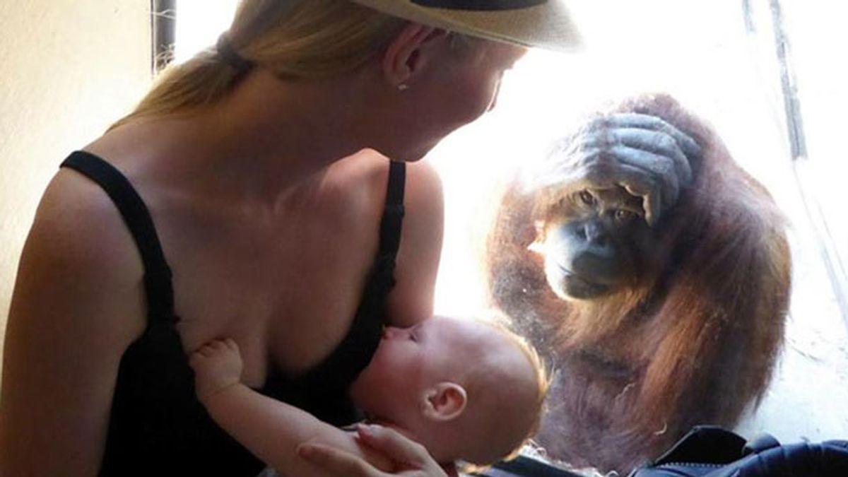 Curiosa reacción de una mamá orangután viendo dar el pecho a un bebé