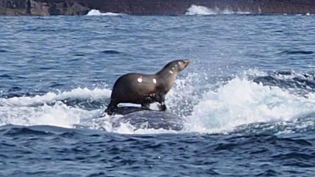 La foca que surfea sobre el lomo de una ballena