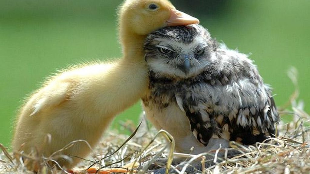 pato, amor platónico, San valentín