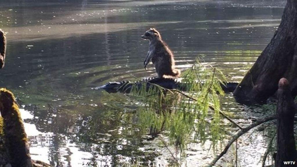 Un mapache se desplaza a lomos de un caimán