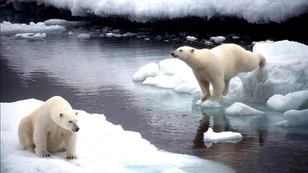 Imagen de dos osos polares saltando de un bloque de hielo a otro en Alaska. EFE/Archivo