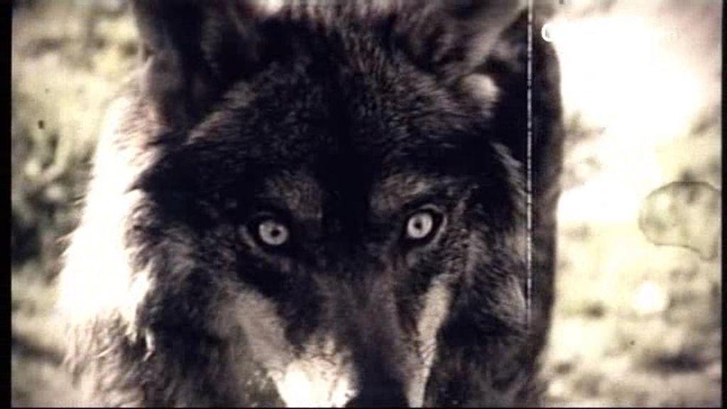 Iker Jiménez se adentra en territorio de lobos para conocer sus peligros para el hombre