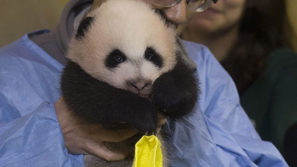 Nuevo oso panda del zoo de Madrid
