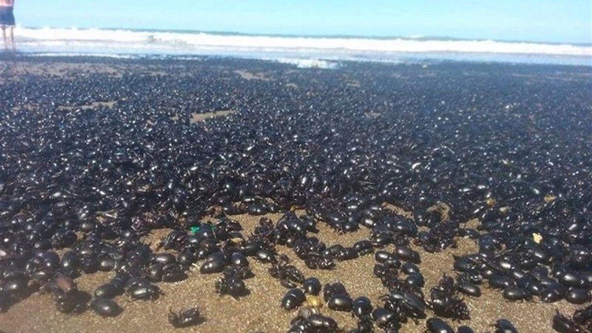 Una plaga de millones de escarabajos sorprende a los bañistas de una playa argentina