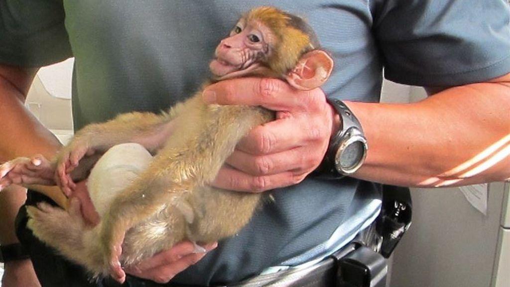 Decomisan una cría de mono protegido del Norte de África con destino a Bélgica