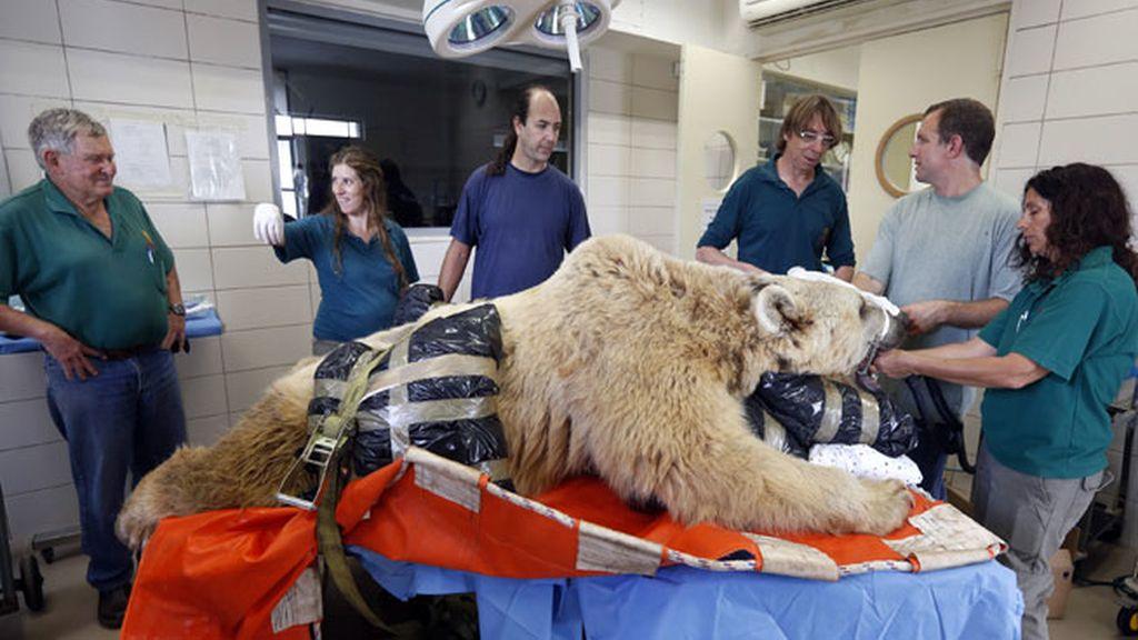 El oso Mango operado de hernia discal en un zoológico de Israel