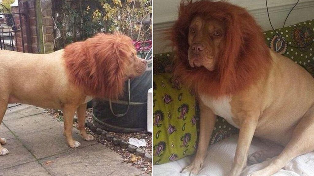 Mi perro es un león
