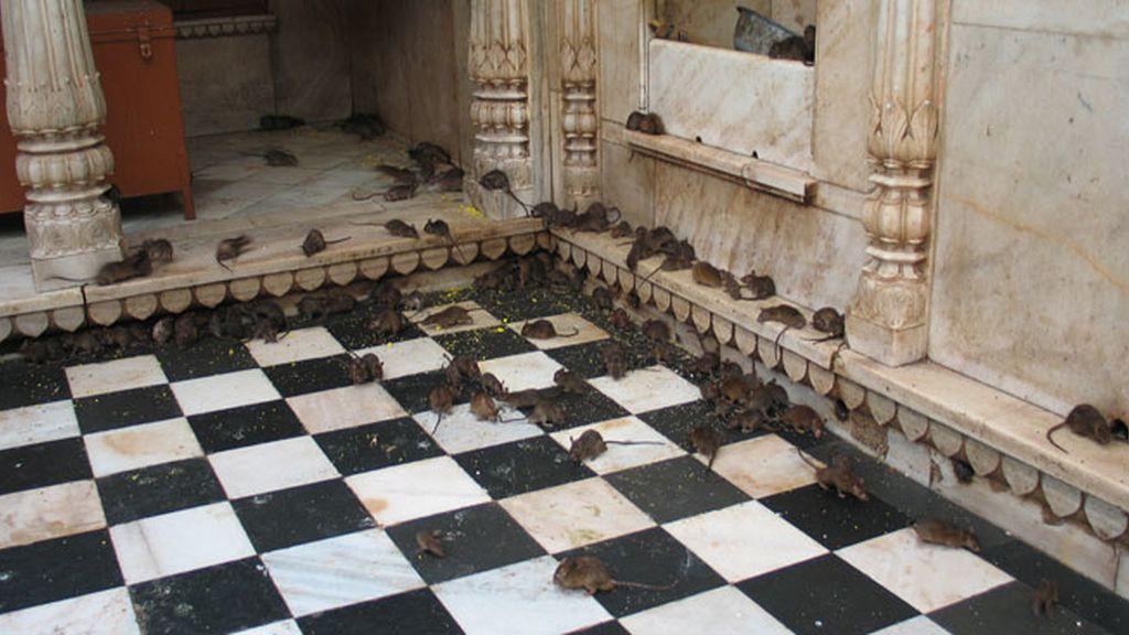 El Templo Karni Mata en el desierto Thar de Rajastán